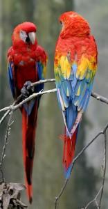 Всички папагали имат нужда да поддържат човката си здрава. Винаги трябва да имат играчки, които да унищожават и всеки ден да дъвчат дърво за да поддържат големите си човки. Много хора се оплакват от невъзможното крещене и арите им. Винаги трябва да имате в предвид, че дори да подрежете добре крилата му, то папагалът  може би отново ще може да литне, така че ако излизате навън с него трябва да е винаги под ваш контрол.