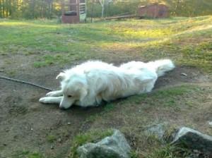 бяло куче